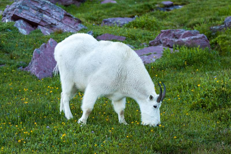 Halna kózka wewnątrz agreen wysokogórską łąkę, lodowa park narodowy, Mo zdjęcia royalty free