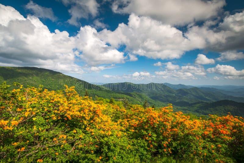 Halna płomień azalii wiosna Kwitnie Scenicznego Krajobrazowego Appalachia zdjęcie stock