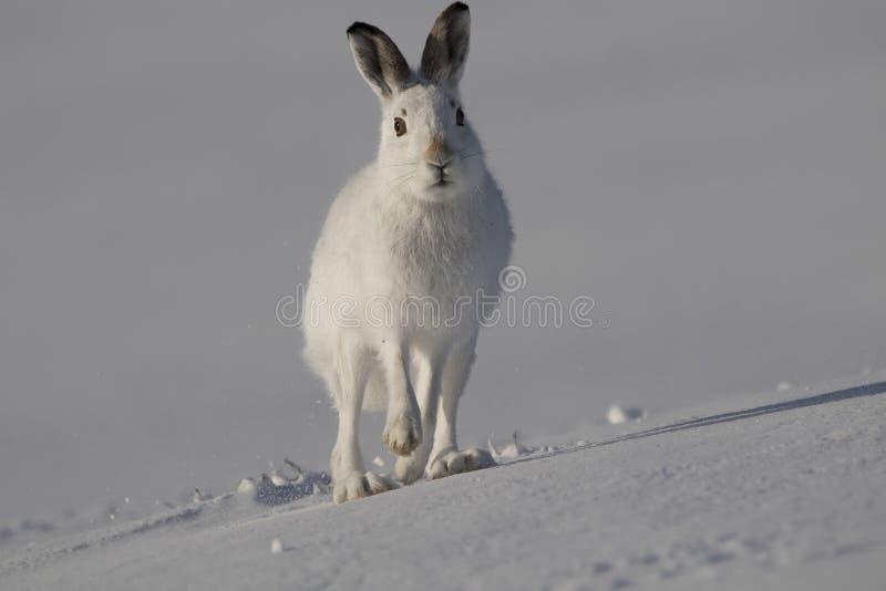 Halna zając, Lepus timidus, obsiadanie, biega na słonecznym dniu w śniegu podczas zimy w cairngorm parku narodowym, Scotland obrazy stock