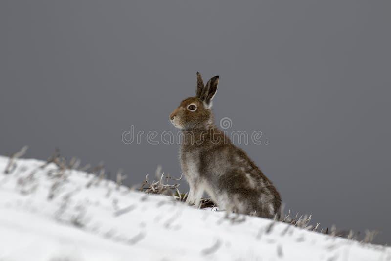 Halna zając, Lepus timidus podczas Października wciąż w lato żakiecie otaczającym śniegiem w cairngorms NP, Scotland obraz royalty free