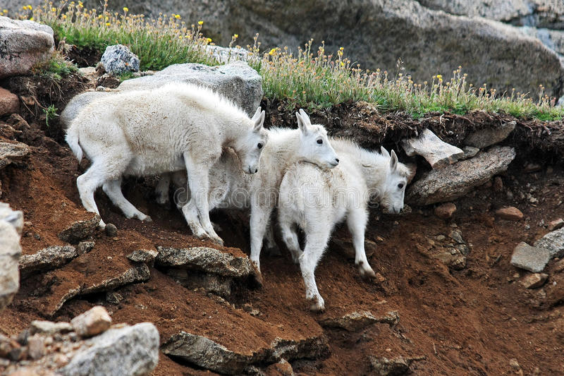 Halne kózki na Mt wyparowywa zdjęcia stock