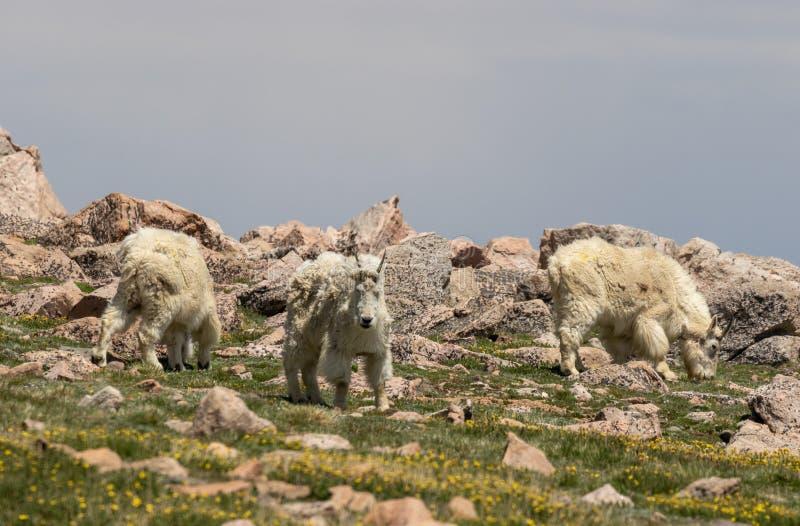 Halne kózki w Kolorado zdjęcia stock