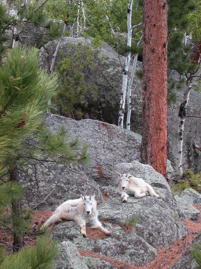 halne kozy obrazy royalty free