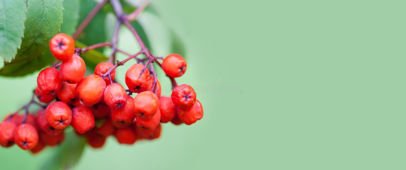 Halne rowan popiółu gałąź jagody na zielonym tle Jesieni żniwa wciąż życia scena Miękkiej ostrości zamazany tło obrazy stock
