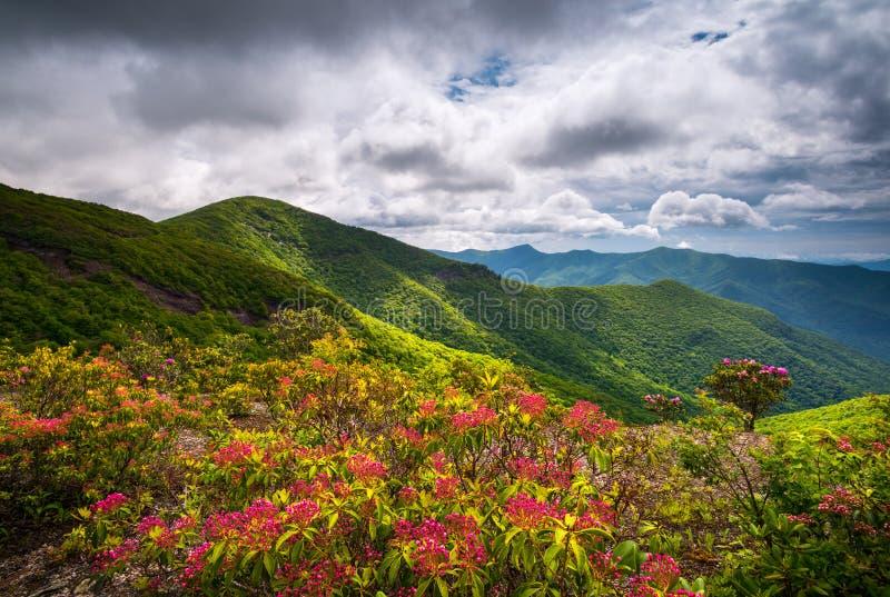 Halnego bobka wiosna Kwitnie kwitnienie w Appalachian górach obraz royalty free