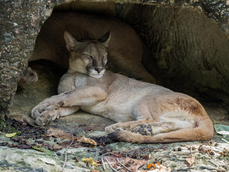 Halnego lwa dosypianie zdjęcie stock