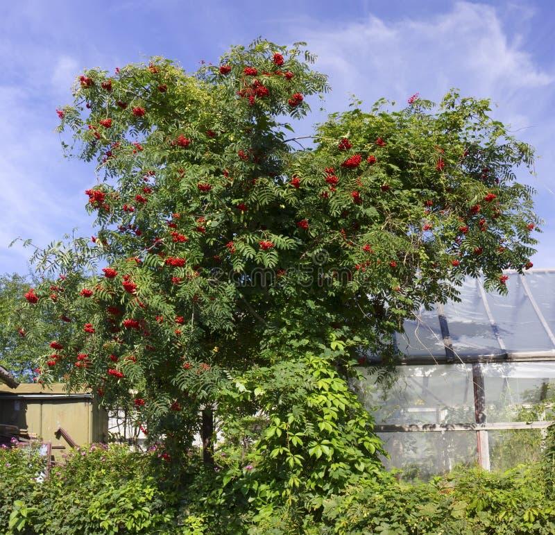 Halnego popiółu drzewo w Sierpień obraz royalty free