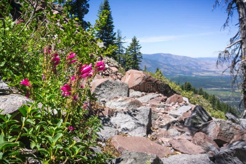 Halnej dumy Penstemon newberryi wildflowers r na stronie wycieczkuje ślad, Siskiyou okręg administracyjny, Północny Kalifornia obraz royalty free