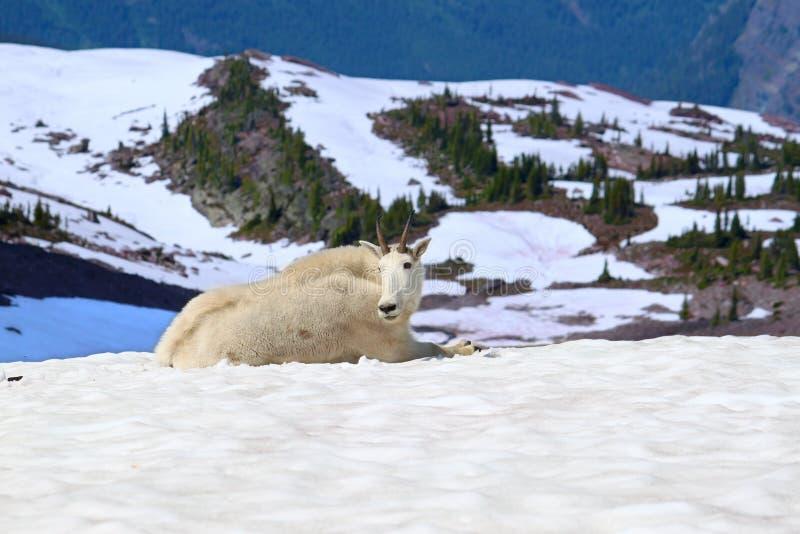 Halnej kózki lodowa park narodowy obraz stock