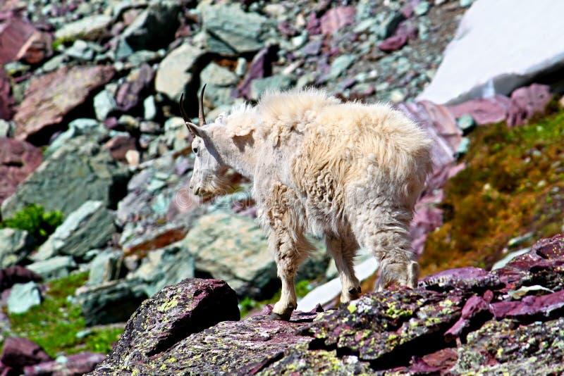 Halnej kózki lodowa park narodowy zdjęcie stock