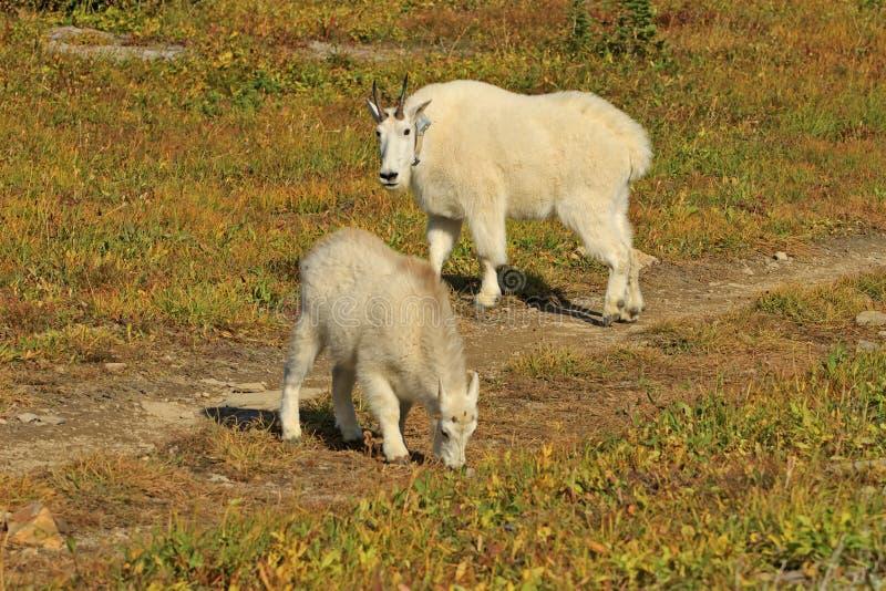 Halnej kózki matka i dzieciak, lodowa park narodowy zdjęcie royalty free