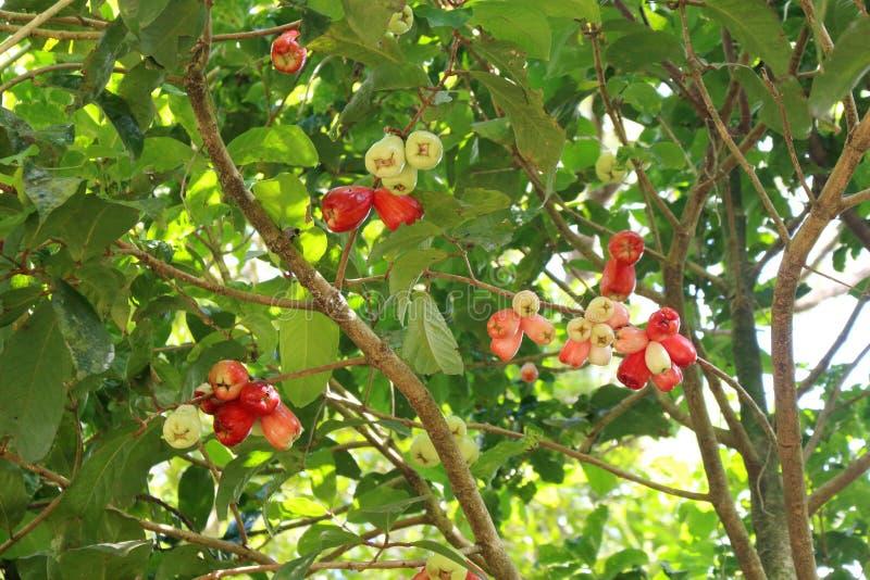 Halni jabłka na drzewie obrazy stock