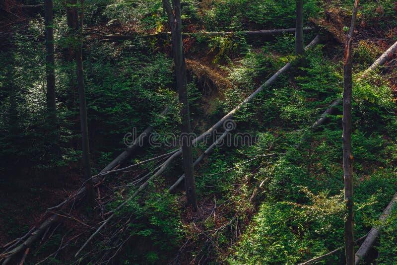 Halni skłony, las z wiele spadać drzewami po burzy obraz stock