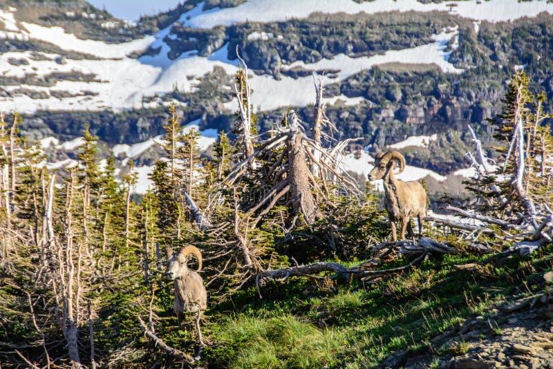 Halny baran w lodowa parku narodowym, Montana usa fotografia royalty free