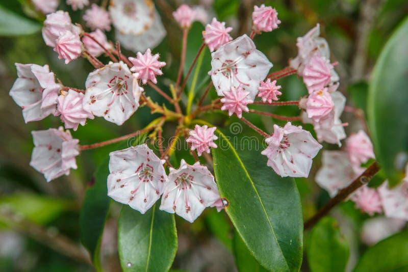 Halny bobek (Kalmia latifolia) obrazy stock