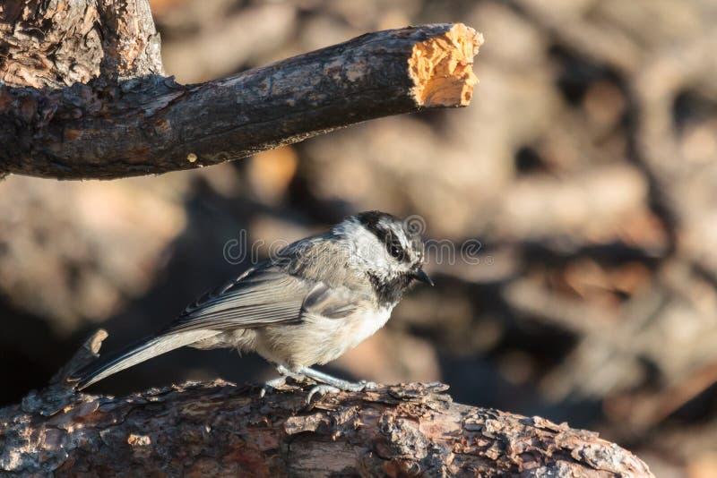 Halny Chickadee obsiadanie na sosny gałąź obrazy stock