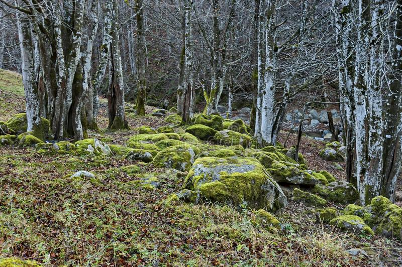 Halny deciduous las z dużymi kamieniami przerastającymi z mech, Bałkańskie góry, blisko Teteven zdjęcie royalty free