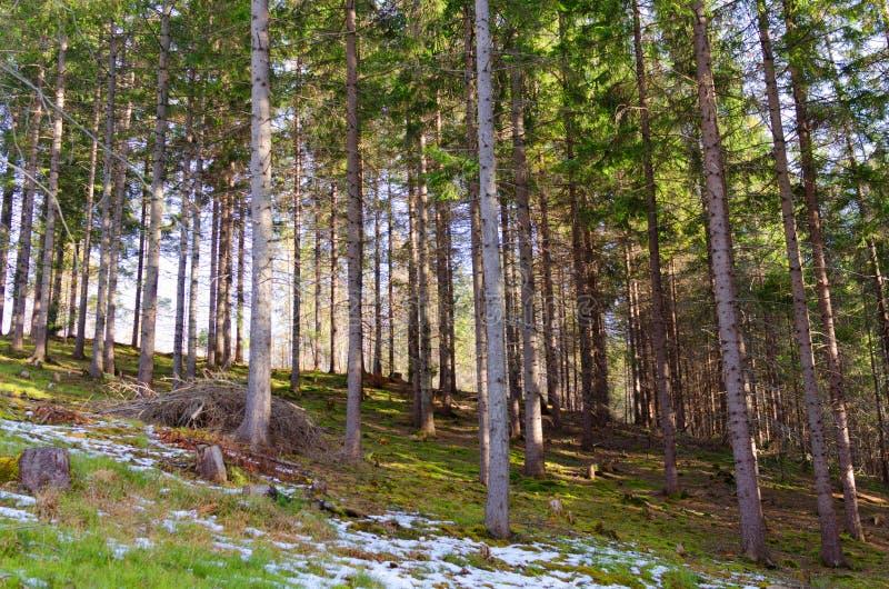 Halny las w wiośnie zdjęcia stock