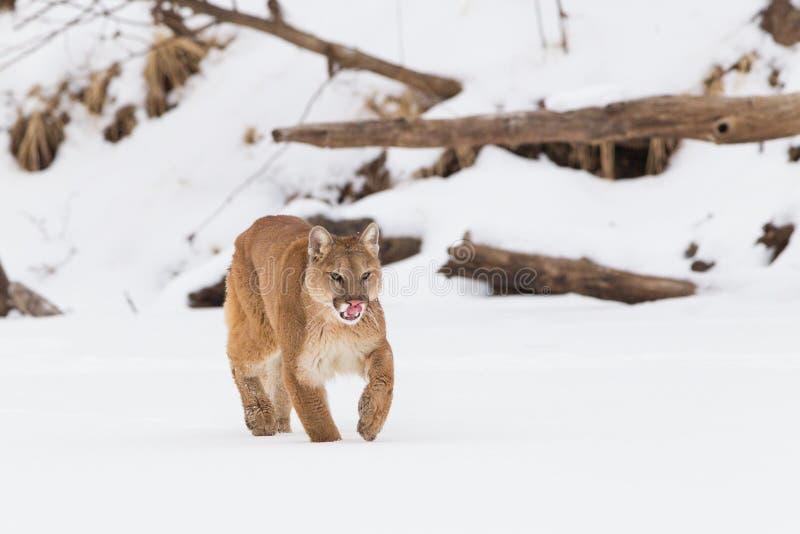 Halny lew liże jego sieka fotografia royalty free