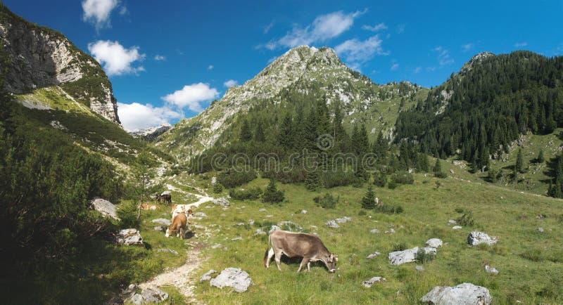 Halny paśnik w planina Duplje blisko Krnsko jezero jeziora w Juliańskich Alps fotografia stock