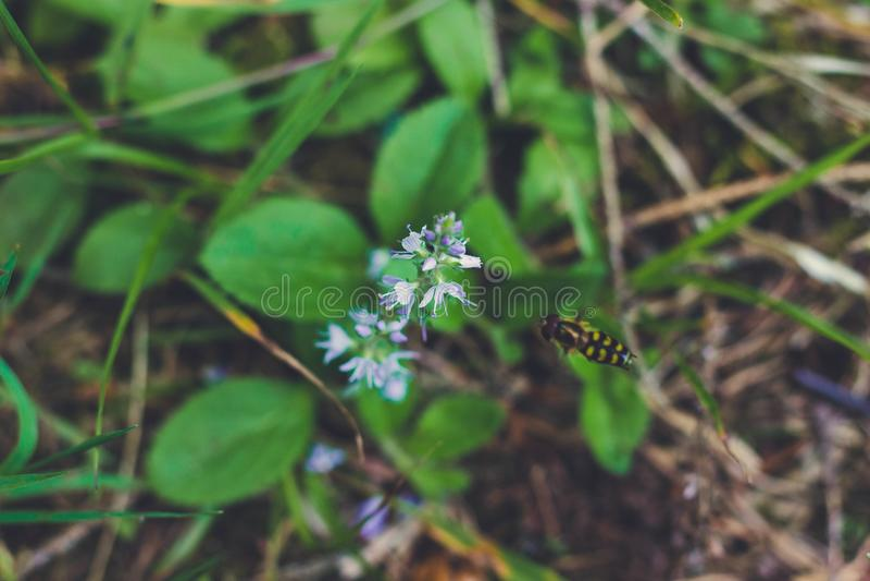 Halny rośliny i pszczoły zbieracki nektar obrazy stock