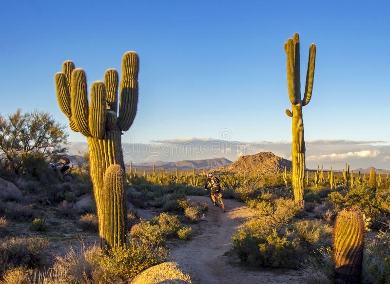 Halny rowerzysta na pustynnym śladzie w Arizona z kaktusem obraz stock