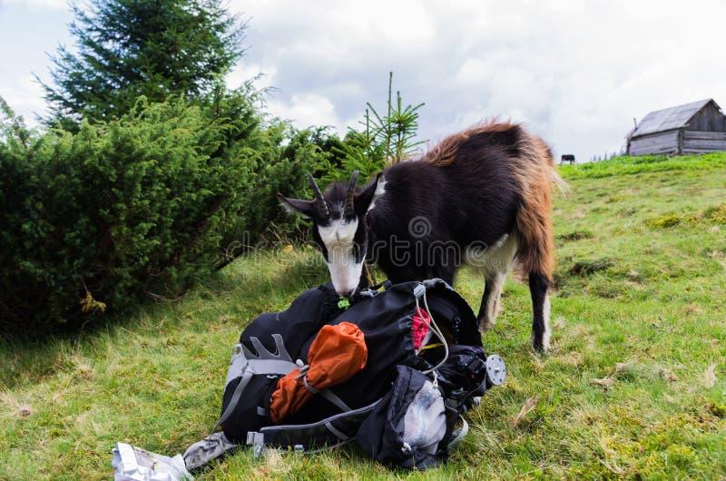 Halny zwierzę rewizi turysty wyposażenie fotografia stock