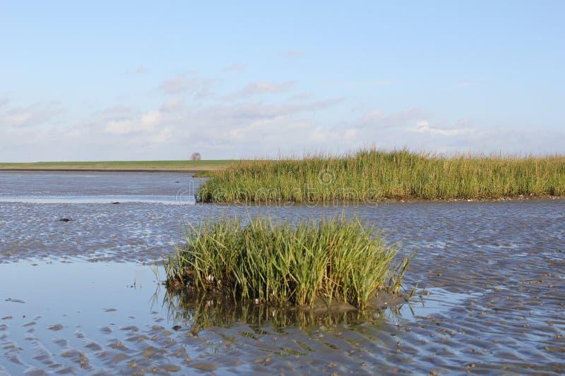 Halophytes verts d'eau salée bas sur le marais de marée au printemps photographie stock