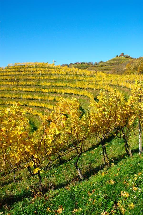 Haloze kullar, vingårdar på terrasser i höst arkivfoton