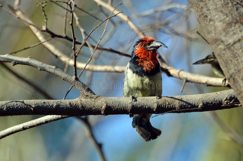Halsband-Bartvogel, der auf einer Niederlassung sitzt lizenzfreie stockfotografie