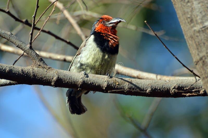Halsband-Bartvogel, der auf einer Niederlassung sitzt lizenzfreies stockfoto