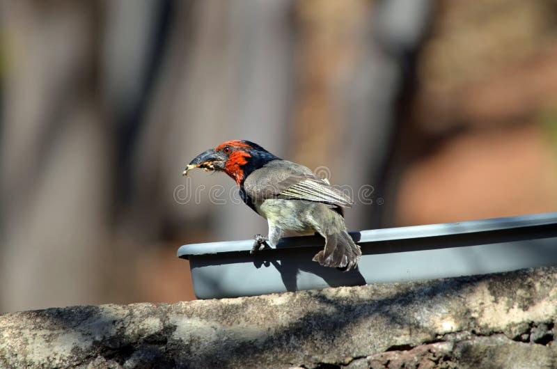 Halsband-Bartvogel an einer Vogelzufuhr lizenzfreie stockbilder