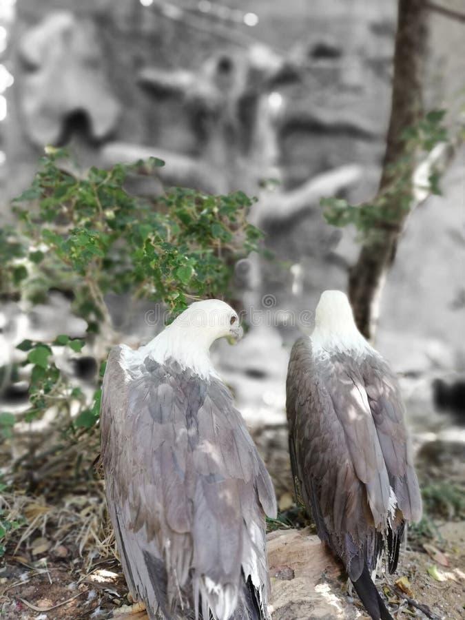 Halskrage Eagles arkivbild