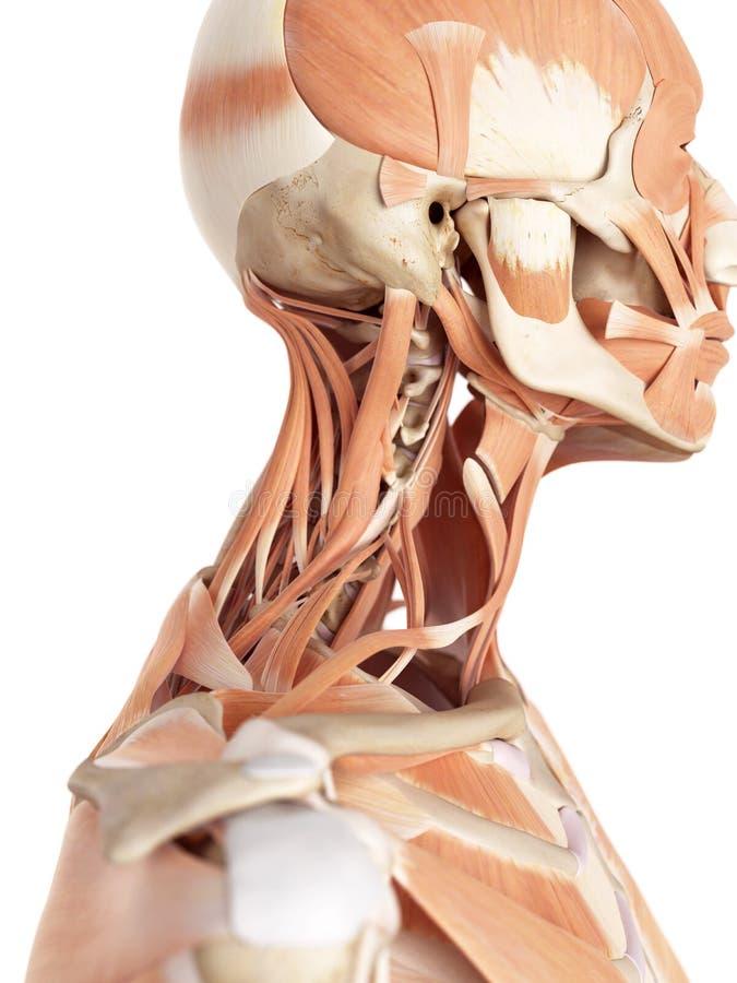 Halsmusklerna vektor illustrationer