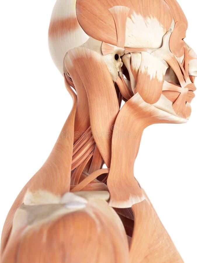 Halsmusklerna stock illustrationer