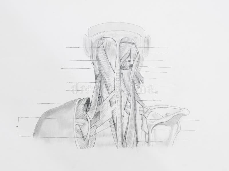Halsrückenmuskulaturbleistift-zeichnung lizenzfreie stockbilder