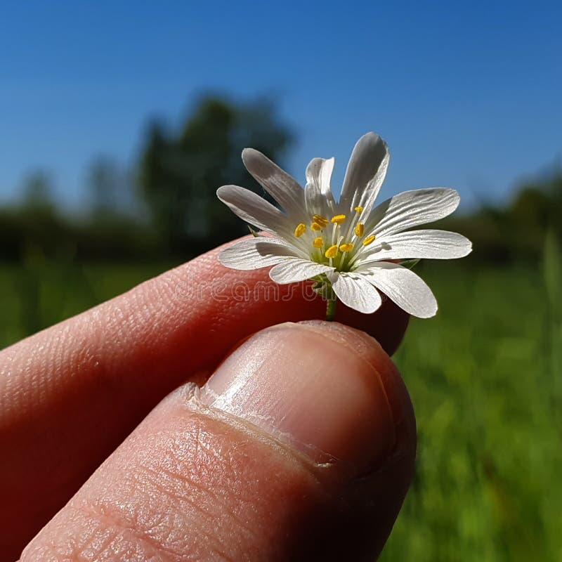 Halten eines springflower stockfotos