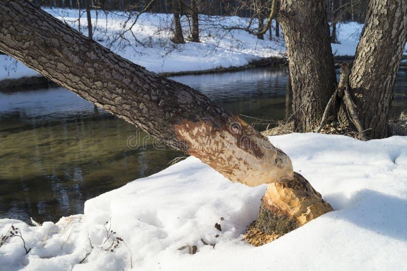 Halten Sie Baum mit Spur von den Zähnen des Bibers auf stockbilder
