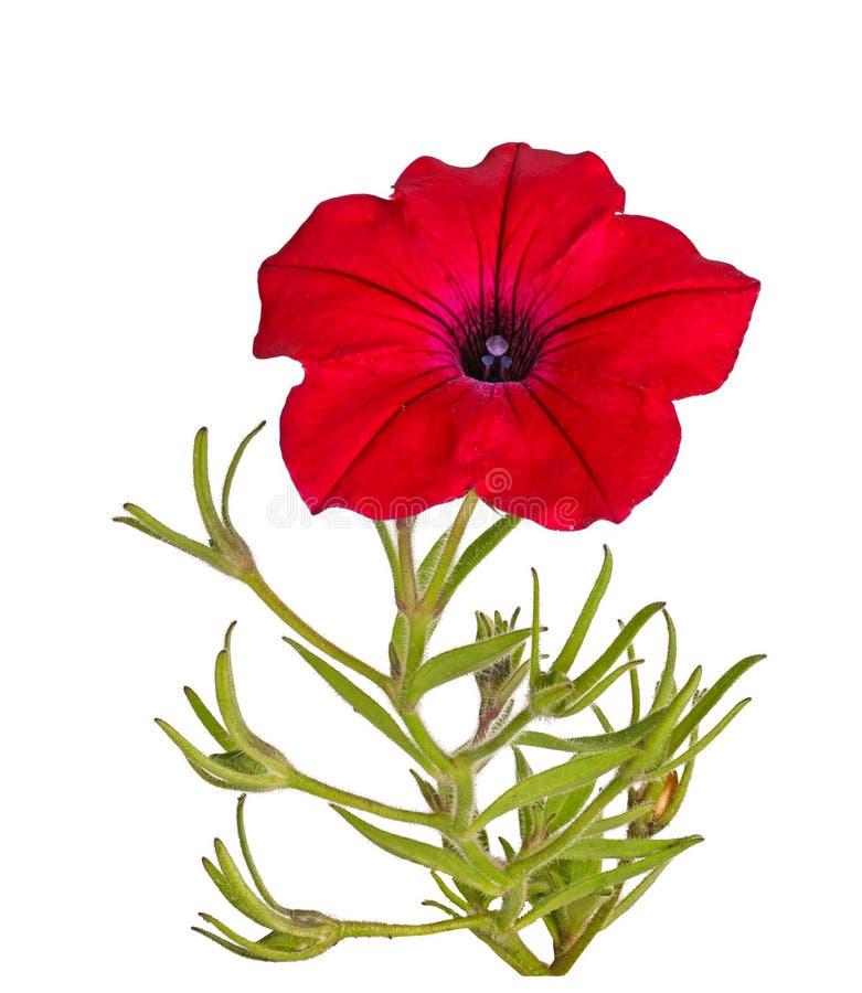 Halten Sie mit einer roten Petunienblume auf, die auf Weiß lokalisiert wird stockfoto
