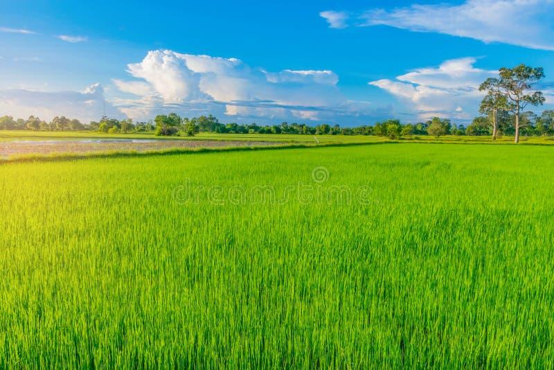 Halv kontur för abstrakt mjuk fokus av solnedgången med det gröna rårisfältet, den härliga himlen och molnet i aftonen i Th royaltyfria bilder