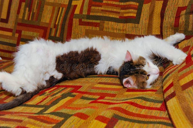 Download Halv Vithusdjurkatt Som Poserar På Soffan Bakgrund Av Fyrkanter Av Diff Arkivfoto - Bild av roligt, skrapa: 76700764