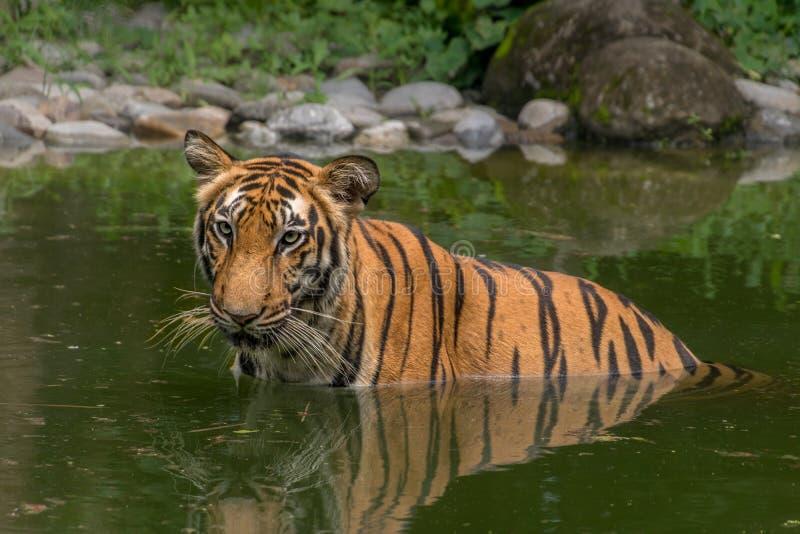 Halvan för den Bengal tigern (pantheraen Tigris) doppade i ett träsk royaltyfri fotografi