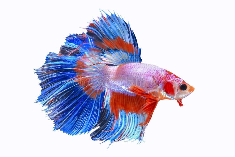 Halvemaan Siamese het Vechten Vissen op Witte Achtergrond worden geïsoleerd die royalty-vrije stock fotografie