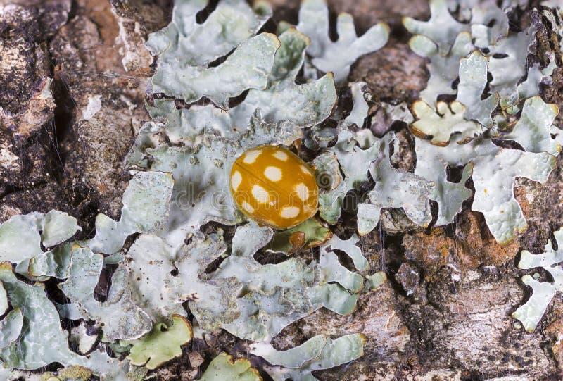 Halyzia sedecimguttata lub pomarańcze ladybird zdjęcia stock