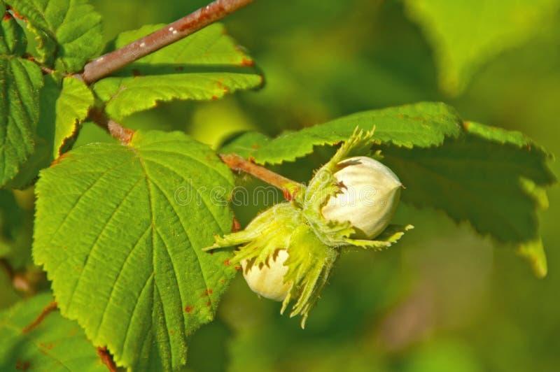 Halzelnuts on the tree royalty free stock photography