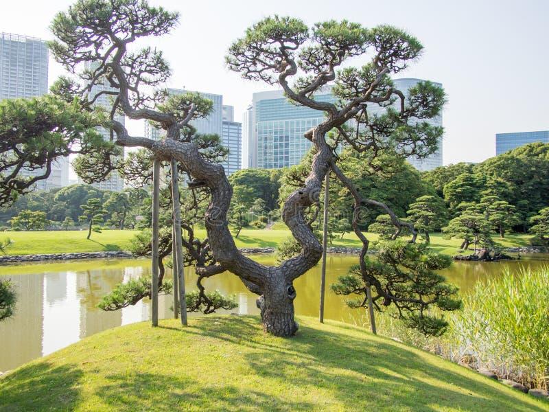 Beautiful Hama Rikyu Garden, Tokyo, Japan. Hama Rikyu 浜離宮, Hama Rikyū, is a large, attractive landscape garden in central Tokyo. Located royalty free stock image