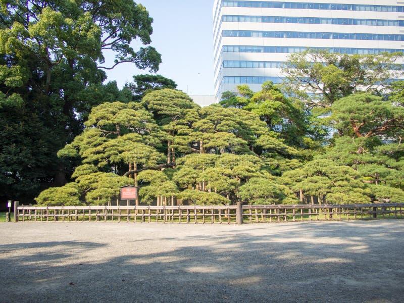 300 Year Old Pine Tree at Hama Rikyu Garden, Tokyo, Japan. Hama Rikyu 浜離宮, Hama Rikyū, is a large, attractive landscape garden in central royalty free stock photo