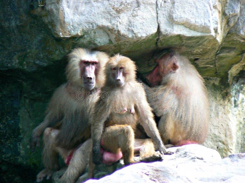 Hamadriad małpy zdjęcia stock