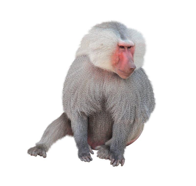 Hamadryad masculino del mono Aislado en el fondo blanco fotografía de archivo libre de regalías