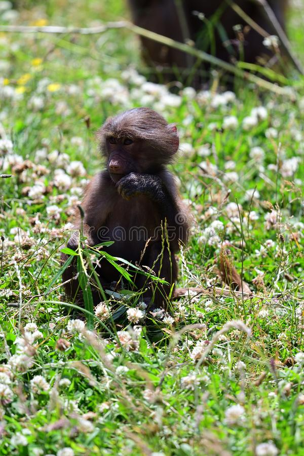 Hamadryas狒狒狒狒hamadryas 免版税库存照片